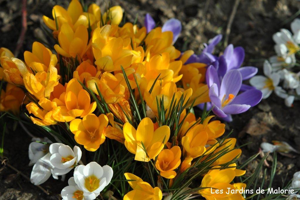 Fleurs Jaunes Du Debut Du Printemps Les Jardins De Malorie