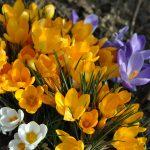 Fleurs jaunes du début du printemps