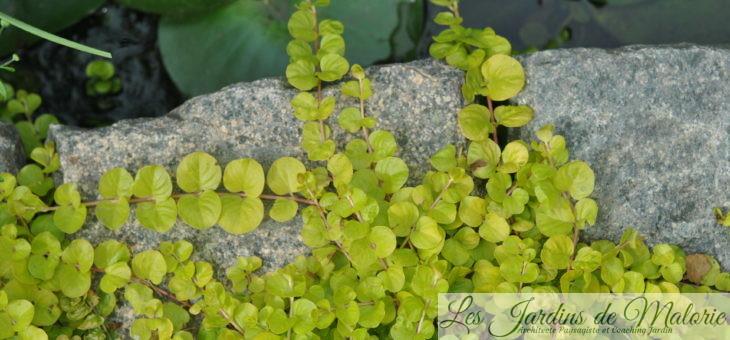 lysimachia nummularia 'aurea', lumineuse plante de berges!
