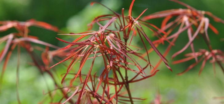 🌳 Acer japonicum 'Red Pygmy'