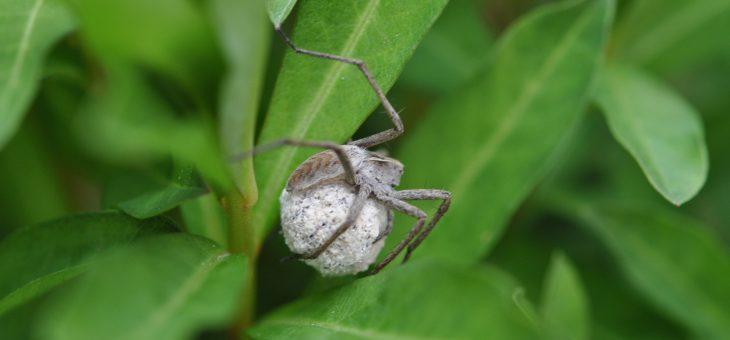🕷 Araignée Pisaure admirable