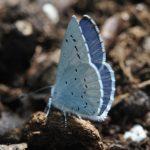 🦋 Papillon bleu : azuré des Parcs