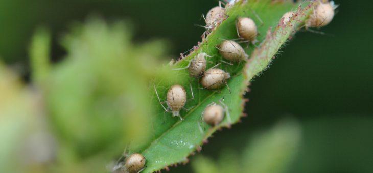 Auxiliaires du jardinier : L'aphidius