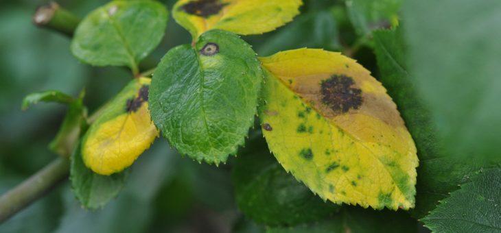 Des rosiers en bonne santé : reconnaître les insectes des rosiers et prévenir les maladies
