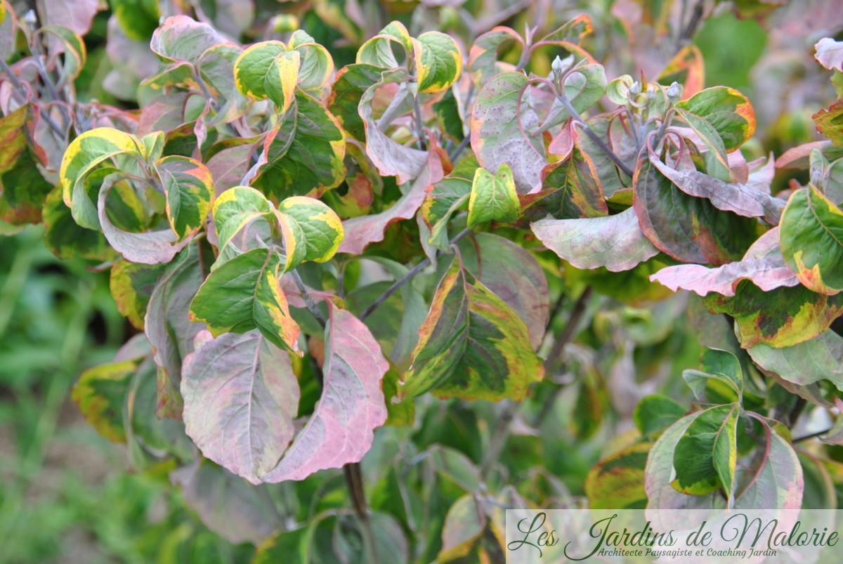 cornus florida 'Rainbow'
