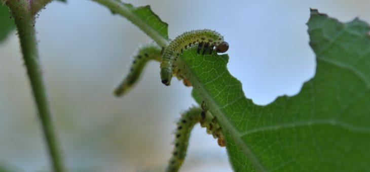 Parasites: la tenthrède du rosier