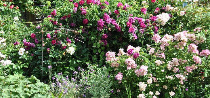 Chroniques de mon jardin : mi-juin