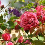 ❤ Focus sur le rosier 'Théo'