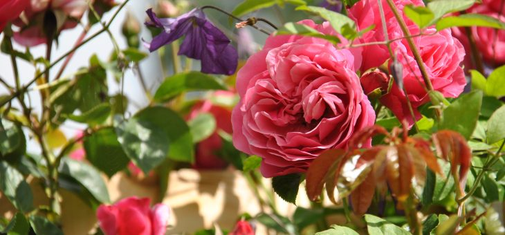 Le rosier 'Théo'