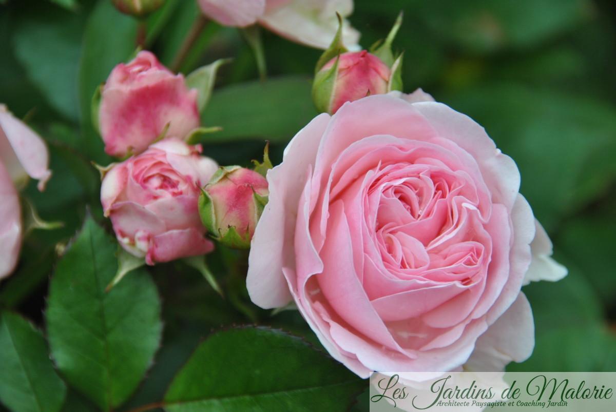 rosier 'Maria Theresia'