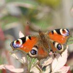 Papillon : le paon du jour