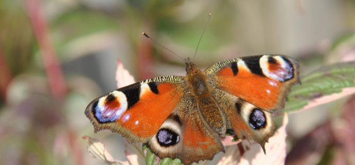 🦋 Papillon : le paon du jour