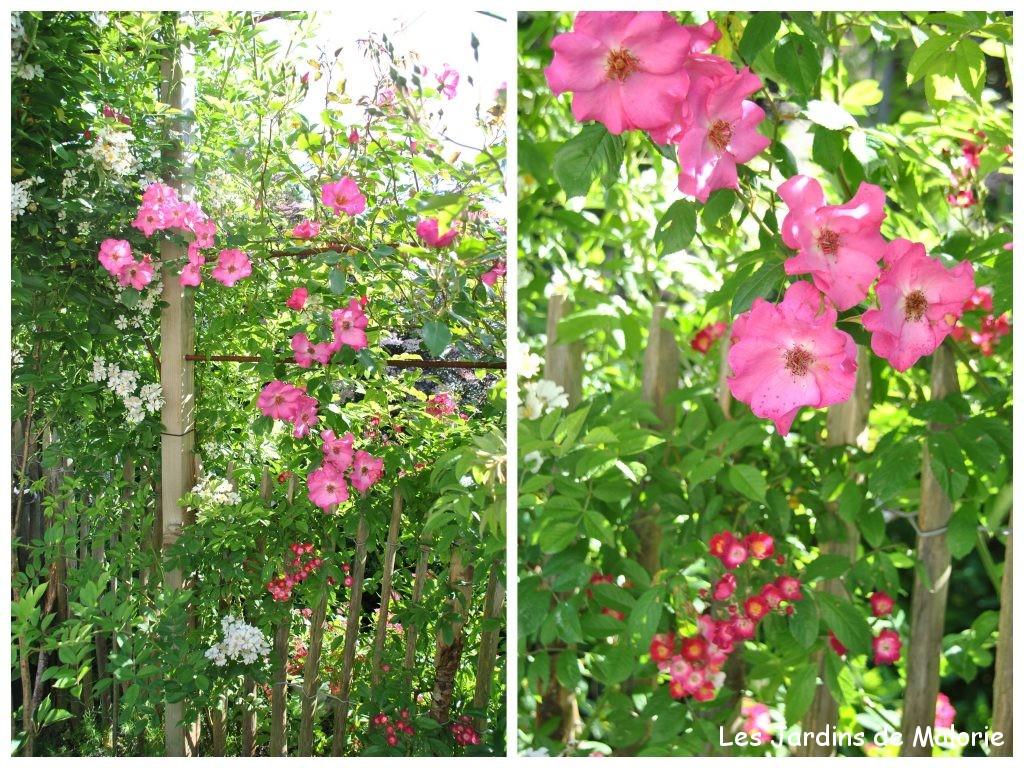 semis spontané à fleurs blanches, 'Mademoiselle des Minuits' et 'Roville'