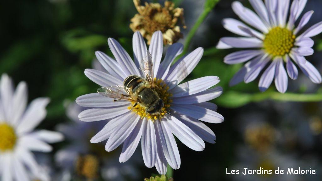 éristale sur une fleur de kalimeris , abeille, insecte
