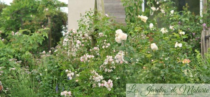 Chroniques de mon jardin: les rosiers de début juillet