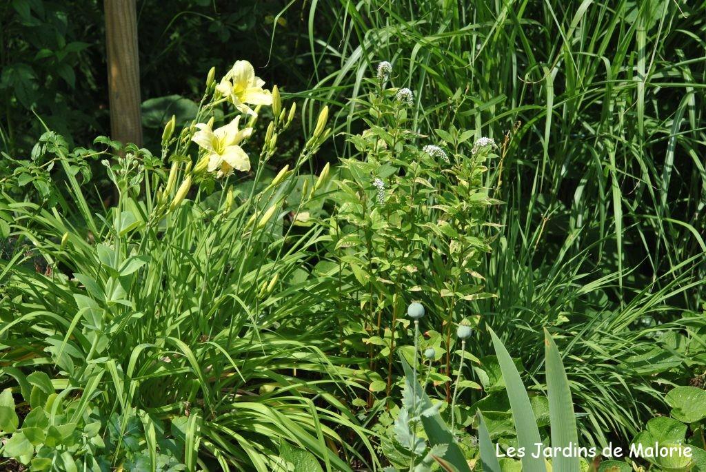 hémérocallis jaune pâle en compagnie de lysimachia clethroides, devant une grande graminée (photo prise dans le jardin privé d'André Eve)
