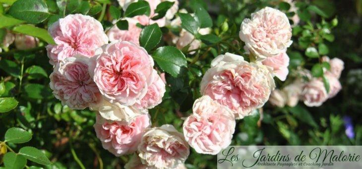 ❤  Focus sur le rosier 'Bossa Nova' (syn. 'The Faun'): floraison longue durée!