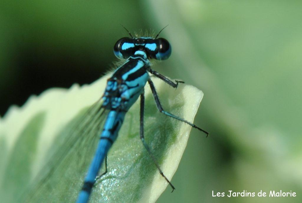 demoiselle: contrairement aux libellules, les demoiselles ont les yeux séparés