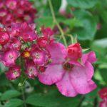 ❤ Focus sur le rosier 'Mademoiselle des Minuits'