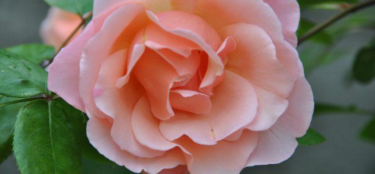 ❤  Focus sur le rosier 'Coraline'