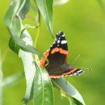 🦋 Papillon : le Vulcain (vanessa atalanta)