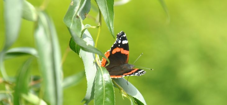 Papillon : le Vulcain (vanessa atalanta)