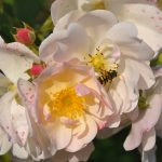 ❤❤ Focus sur le rosier 'Sourire d'Orchidée'