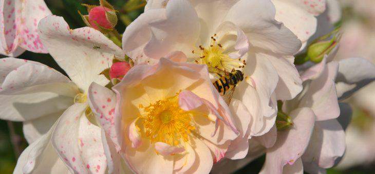 ❤ Focus sur le rosier 'Sourire d'Orchidée'