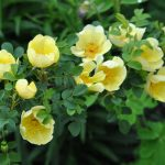 ❤ Rosa 'Hugonis', rosier du Père Hugo, rosier jaune de Chine