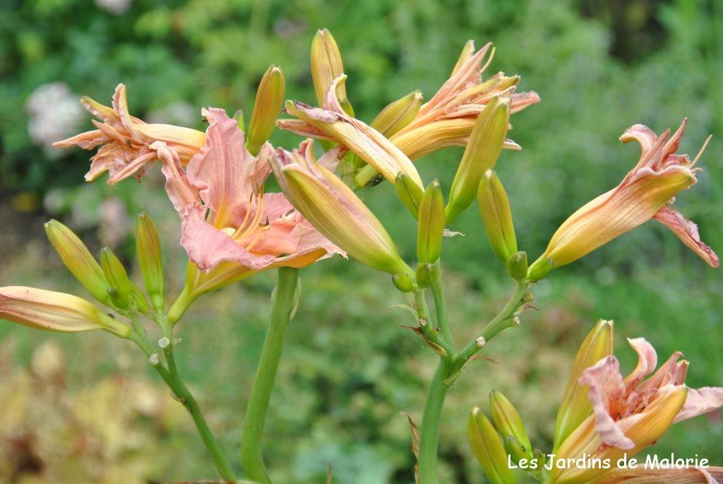 hémérocalle. Une seule hampe florale porte de nombreux boutons qui s'épanouissent successivement pendant des semaines