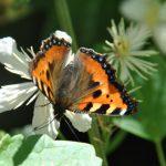 曆 Papillon Petite Tortue