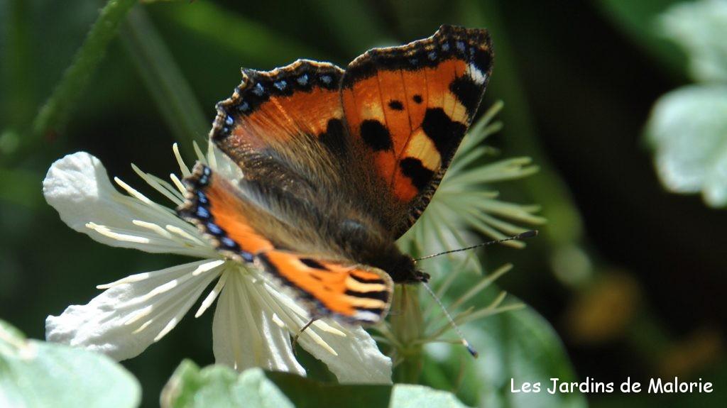 papillon Petite tortue