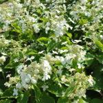 L'hydrangea paniculata 'Levana'