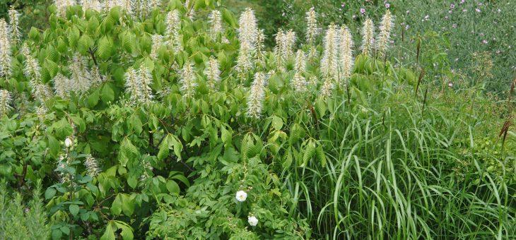 🌳 Pavier blancou marronnier nain (Aesculus parviflora)
