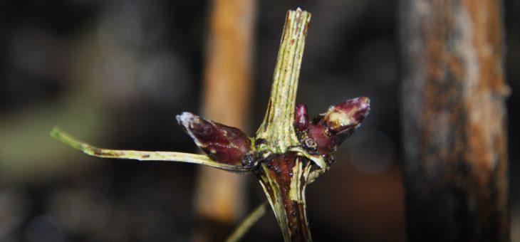 Pour avoir des clématites bien fleuries: Taille et entretien