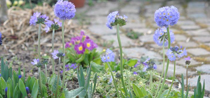 Les fleurs bleu/violet du début du printemps