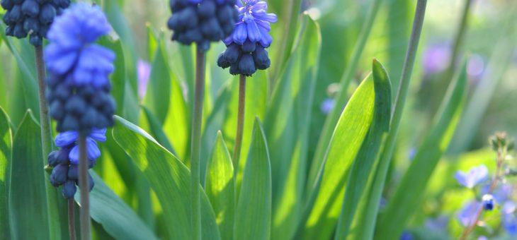 Muscaris 'latifolium'