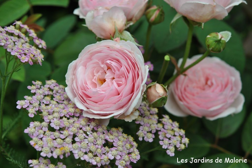 rosier 'Geoff Hamilton' et achillea 'Rose d'Antan'