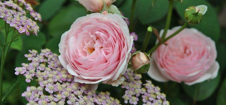 Rosier 'Geoff Hamilton' & achillea 'Rose d'Antan'