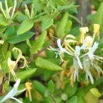 Parfums du jardin : le chèvrefeuille (lonicera japonica)