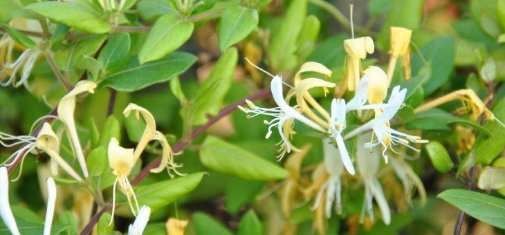 Parfum de chèvrefeuille (lonicera japonica)