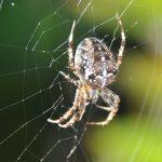 🕷 Araignée épeire Diadème