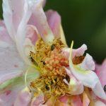 Parasites des rosiers: méligèthes