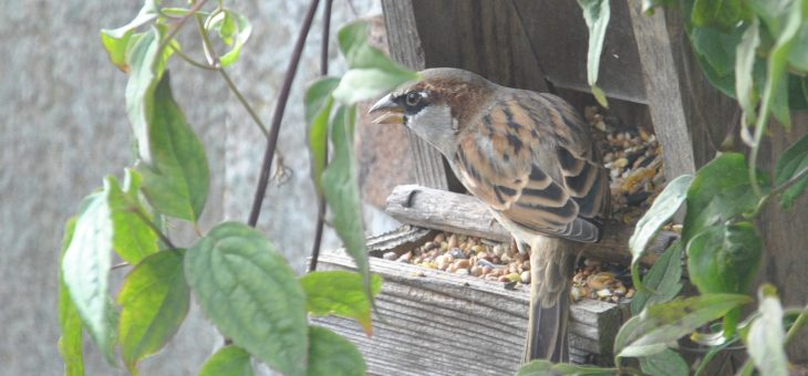Oiseaux du jardin: le moineau domestique