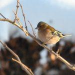  Oiseaux du jardin : le Pinson des arbres