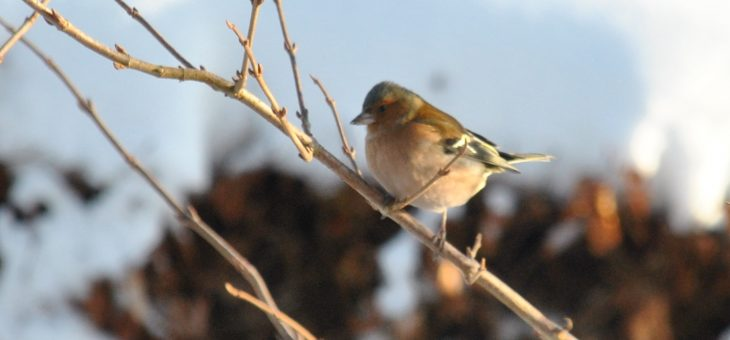 Oiseaux du jardin: le pinson des arbres