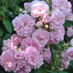 ❤ ❤❤Focus sur le rosier 'Belle de Sardaigne'