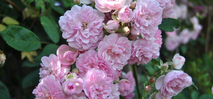 ❤ Focus sur le rosier 'Belle de Sardaigne'