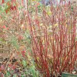 Cornouiller à bois rouge: cornus alba 'Elegantissima'