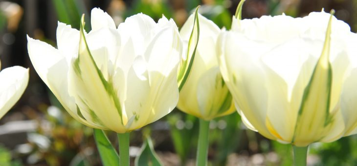 Tulipa fosteriana 'Exotic Emperor'